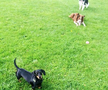 My gal and my two favourite boys #collies #dachshund