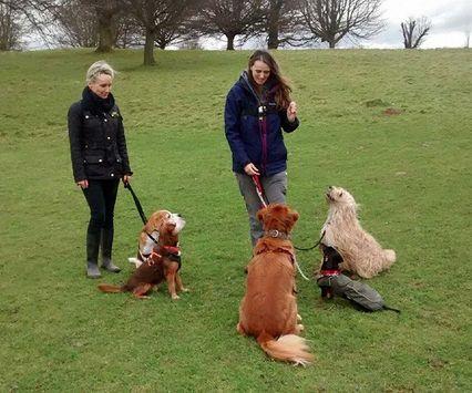 Dog training. Sandridge, Wheathampstead, Nomansland, Heartwood, #stalbans #harpenden IMDT trained #perfectpuppy