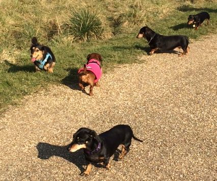 Miniature Dachshunds taking a walk in the park