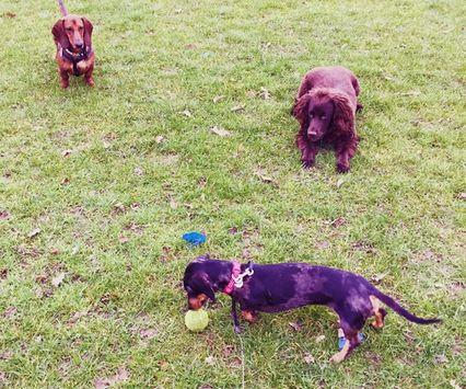Naughty sausage dog hogging the ball! #daxi