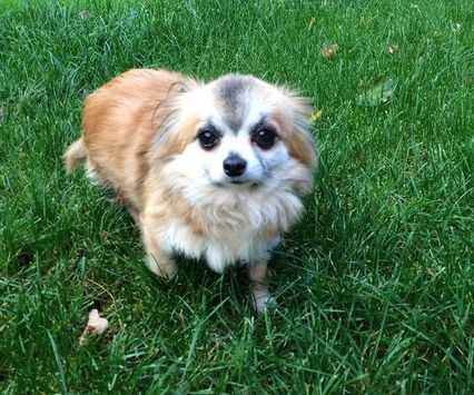 Shy dog ahh.. Puppy home visits #chihuahaua